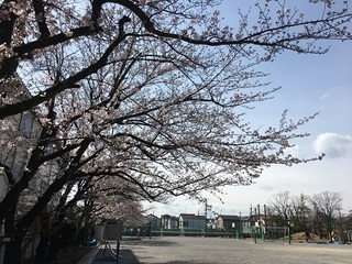 170406_校庭の桜.jpg
