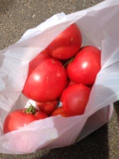 トマト大収穫!
